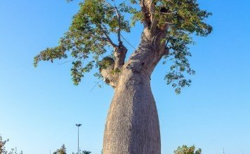 Baobaöl Natur Kosmetik Inhaltsstoffe Anwendung