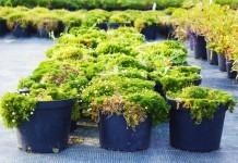 Irisches Moos Anwendung Pflanze Wirkung Verwendung