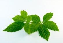 Jiaogulan Anendung Verwendung Pflanze Wirkung