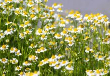 Kamille Pflanze Anwendung Wirkung Verwendung