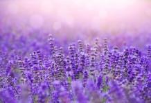 Lavendel Pflanze Anwendung Wirkung Verwendung