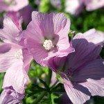Malve Pflanze Wirkung Anwendung Verwendung