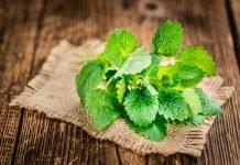 Melisse Anwendung Pflanze Wirkung Verwendung