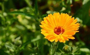 Ringelblume Anwendung Wirkung Pflanze Verwendung