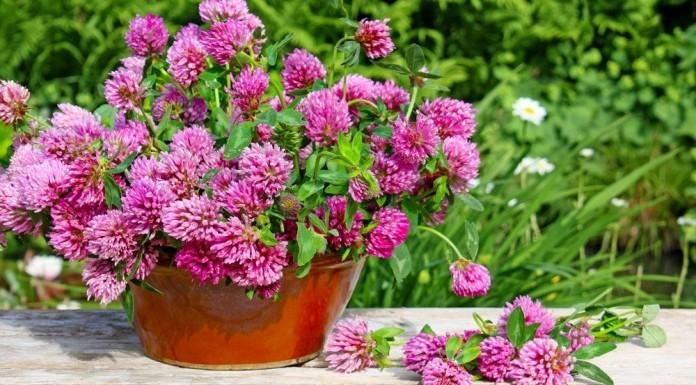 Rotklee Pflanze Anwendung Verwendung Wirkung