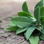 Salbei Anwendung Pflanze Wirkung Verwendung