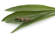 Spitzwegerich Anwendung Verwendung Pflanze Wirkung