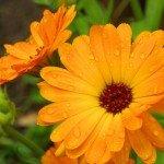 Ringelblume Anwendung Pflege Salbe Naturkosmetik